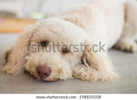 Labradoodle lays on floor.   - stock photo