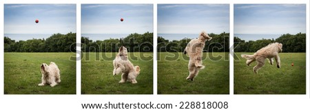 Labradoodle sequence catching a ball - stock photo