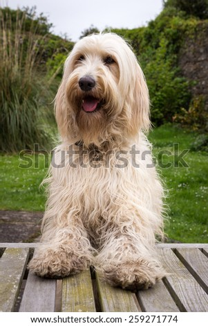 Labradoodle Waiting for His Dinner - stock photo