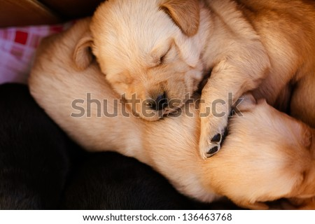 Labrador - stock photo