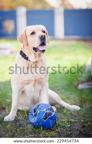 Labrador and ball  - stock photo