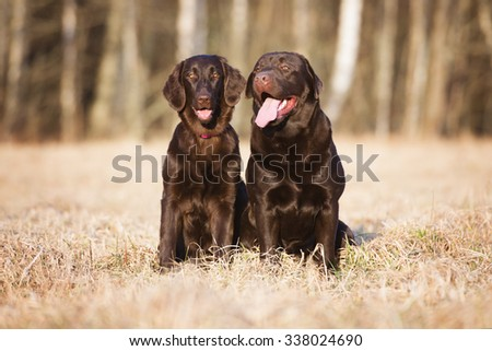 labrador and flat coated retriever dogs posing together - stock photo