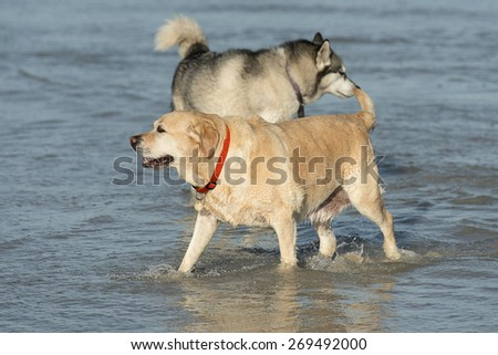 labrador and husky dogs on the beach playing in the surf - stock photo