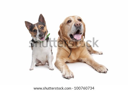 Labrador and jack russel terrier on front of a white background