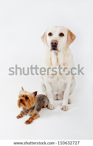 Labrador and Yorkshire terrier on a white background