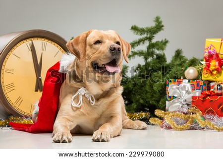 Labrador as  Santa  and a New Year's garland  and presents. Christmas decoration  on a gray background - stock photo