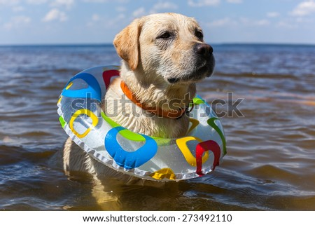 Labrador bathing in the river, spray stick team jump, nature landscape freedom animals - stock photo
