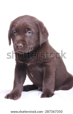 Labrador, brown, puppy - stock photo