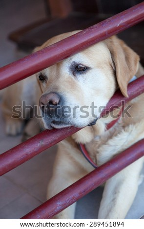 Labrador dog breed bored after the gate of his house - stock photo