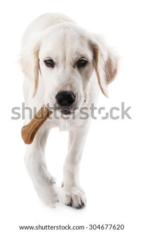 Labrador dog chewing bone isolated on white - stock photo