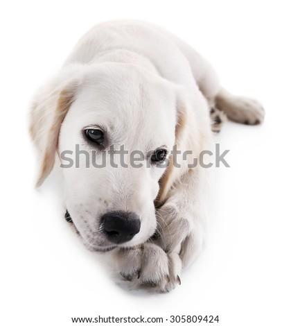 Labrador dog chewing bone isolated on white - stock photo