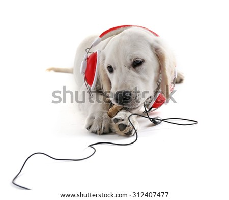 Labrador dog chewing bone with headphones isolated on white