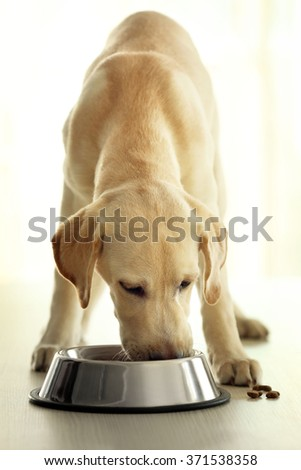 Labrador dog eating food from bowl on wooden table background - stock photo