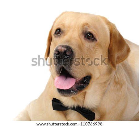 Labrador dog in studio