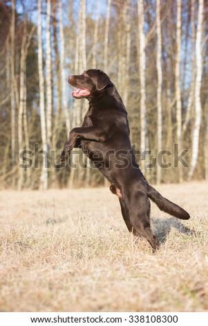 labrador dog jumps up - stock photo