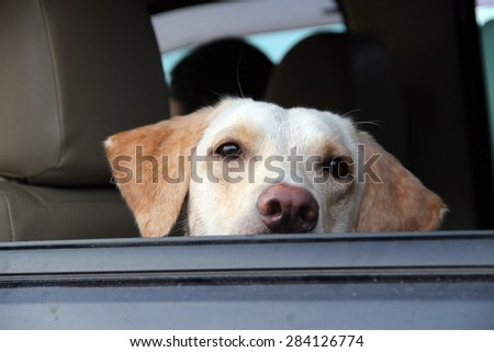 Labrador dog keep looking forward for her owner to pick up/Waiting dog