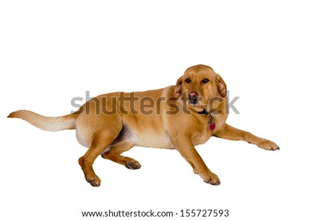 Labrador dog laying down over white