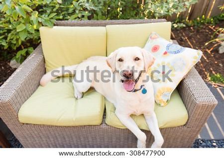 Labrador Dog on Outside Sofa  - stock photo