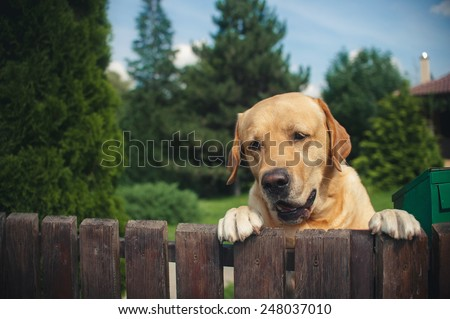 Labrador dog peeping from behind a fence in summer