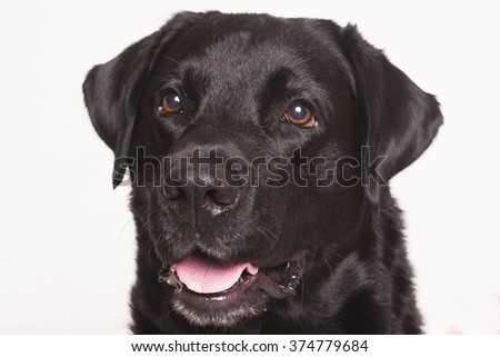 Labrador dog portrait in studio