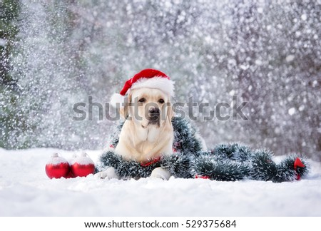 labrador dog posing in a santa hat outdoors in winter