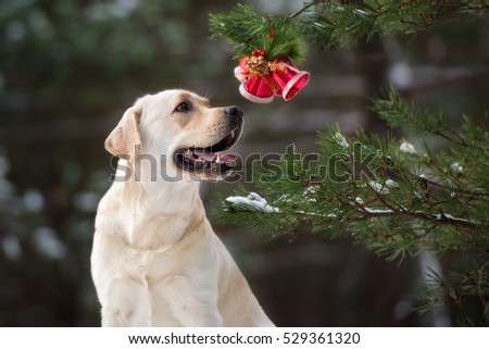 labrador dog with Christmas bells outdoors