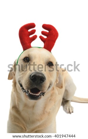 labrador dog with props