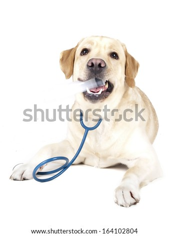 Labrador fawn on a white background in studio