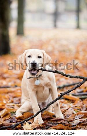 Labrador In autumn leaves - stock photo