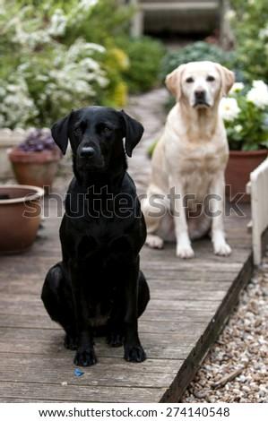 Labrador in pretty garden - stock photo