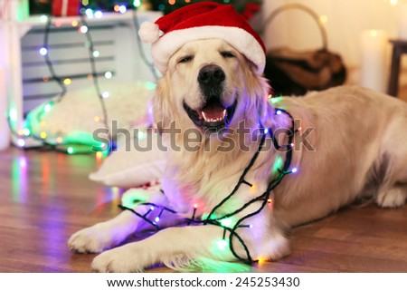 Labrador in Santa hat lying with garland on wooden floor and Christmas decoration background - stock photo