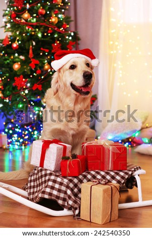 Labrador in Santa hat sitting near sledge with present boxes on wooden floor and Christmas tree background - stock photo