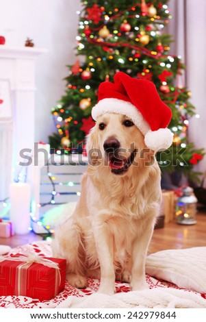 Labrador in Santa hat sitting on plaid with present box on wooden floor and Christmas decoration background - stock photo
