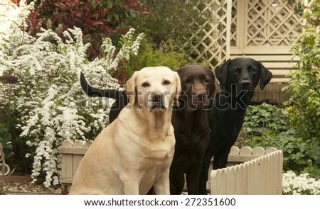 Labrador in the garden - stock photo