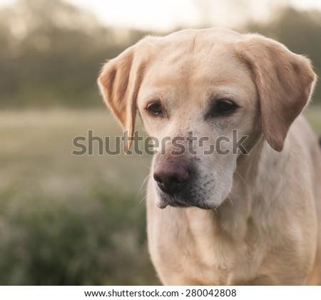 Labrador in the park in spring - stock photo