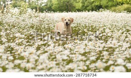 Labrador in the wildflower meadow - stock photo