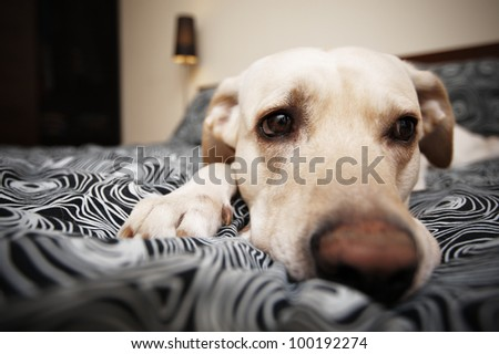 Labrador is lying on bed in home - selective focus on eye - stock photo