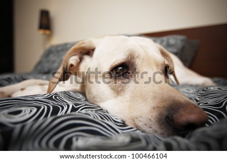Labrador is lying on bed in home - selective focus on eye