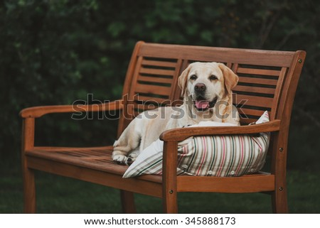Labrador lies on bench