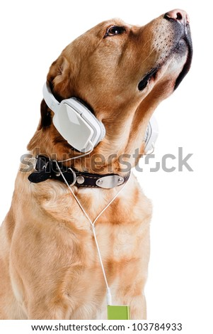 labrador  listening to music in Headphones on white background