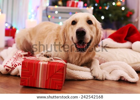 Labrador lying on plaid with present box on wooden floor and Christmas decoration background - stock photo