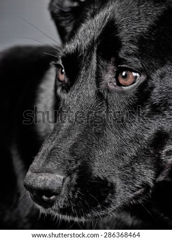 labrador mixed breed, face close-up, studio shot