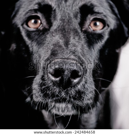 labrador mixed breed portrait, studio shot, facewith focus on the nose and short DOF - stock photo