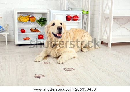 Labrador near fridge and muddy paw prints on wooden floor in kitchen - stock photo