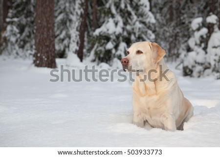 Labrador on a walk in the winter woods