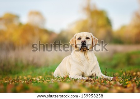 Labrador on autumn walk - stock photo