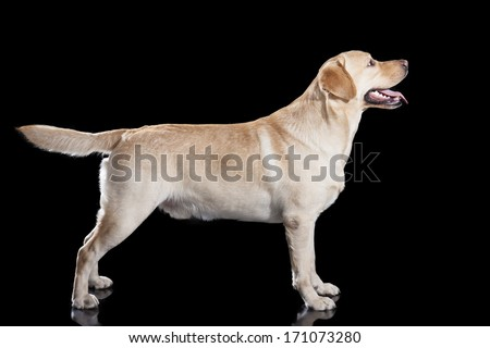 Labrador on black background in studio - stock photo