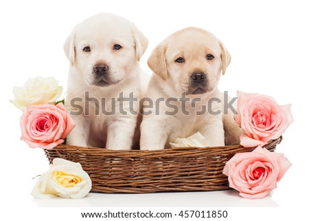 Labrador puppies in a basket with flowers