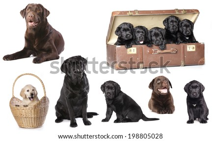 Labrador puppies litter, dog family  - stock photo