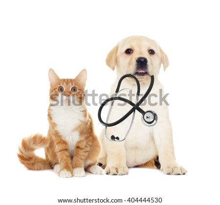 labrador puppy and kitten, looking